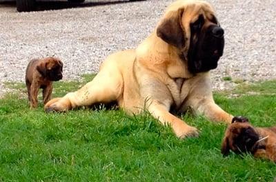 Mastiff con cachorros
