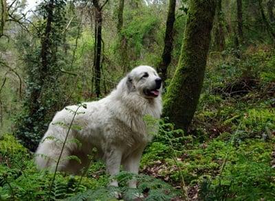 perro montaña de pirineos en el bosque