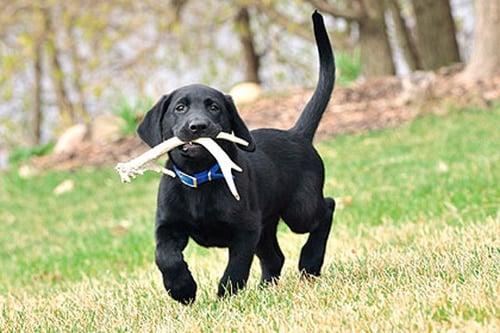 perro comiendo asta de ciervo