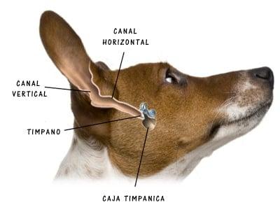 oido interno de perro