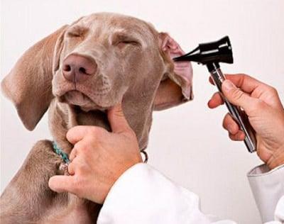 síntomas de la otitis en un perro
