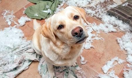 perro con estrés rompiendo cosas