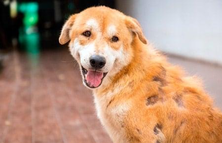perro con enfermedad en la piel