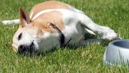 perro envenenado muriendo