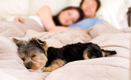 perro duermiendo en la cama con humanos