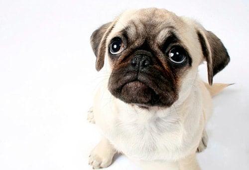cachorro de perro pug