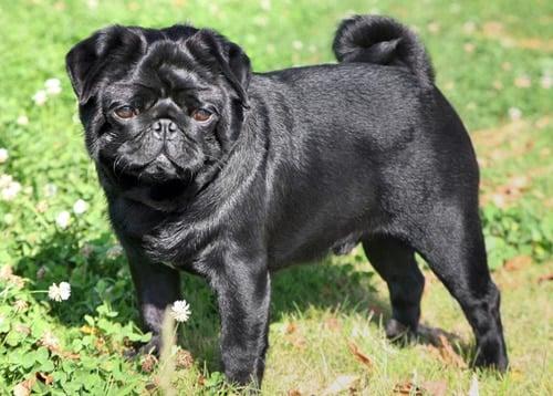 perro carlino negro