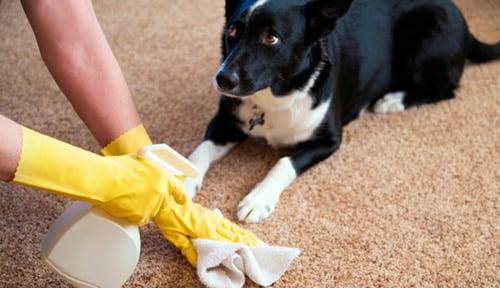 Limpiando orin de perro