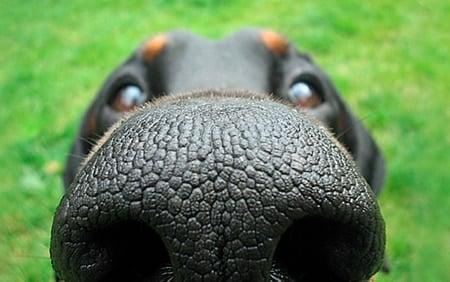 Perro usando la memoria olfativa