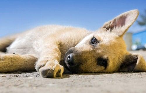 perro en parada cardiorespiratorioa