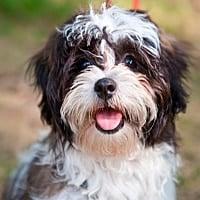 perros de raza Shih Tzu