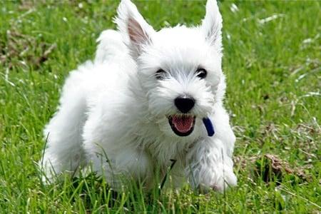 West Highland White Terrier jugando en el jardín