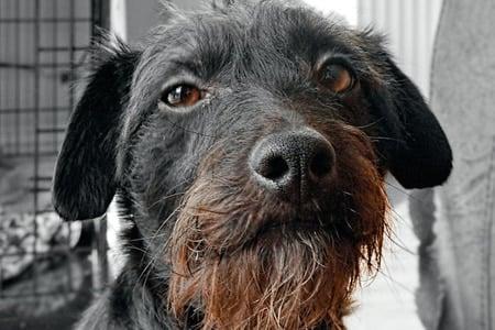 perro de edad avanzada