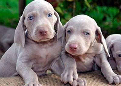 cachorros de braco