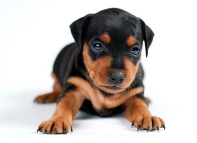 cachorro de dóberman