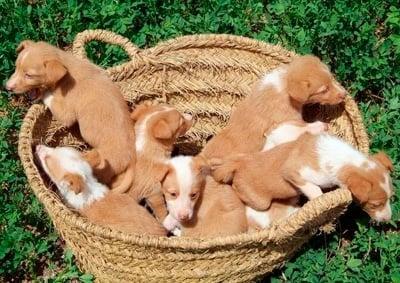 camada de cachorros