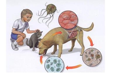 ciclo giardias