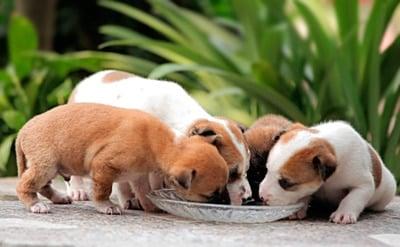 cachorro comiendo papilla