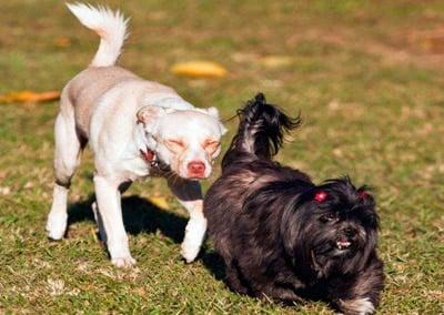 perro persiguiendo a otro perro para oler su trasero