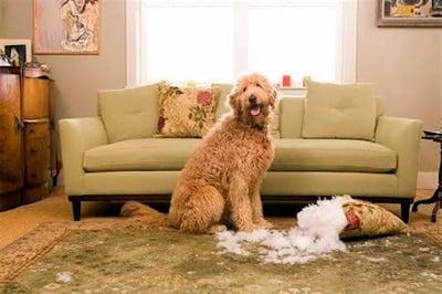 perro rompienso el cojín