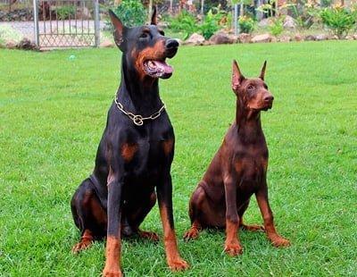 pareja de perros doberman