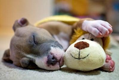 Pit Bull durmiendo