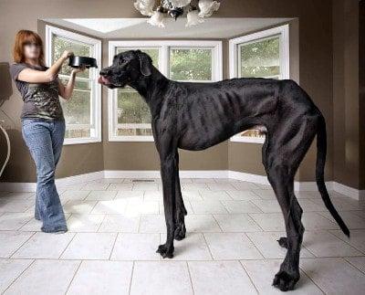 el perro mas grande del mundo george