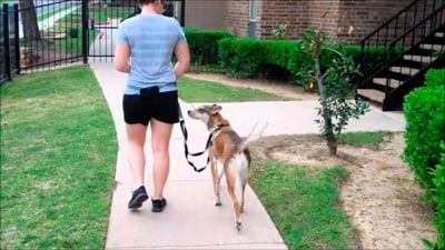 enseñando a pasear a un perro