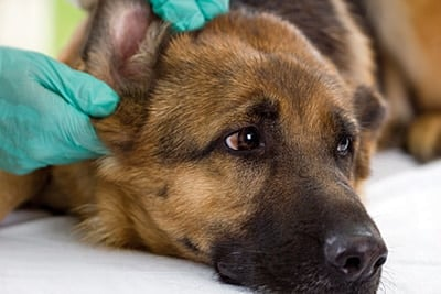 espiga clavada en el oido de un perro