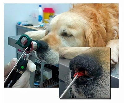 espiga en la nariz de un perro