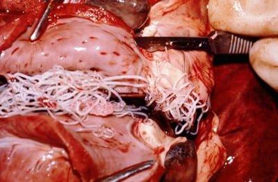 gusano de la filariosis canina