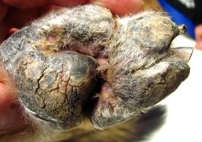 fungosis en la pata de un perro