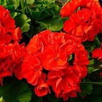 Gu a de plantas venenosas para perros for Planta decorativa venenosa