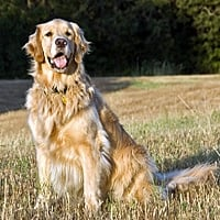 perro de raza golden retriever