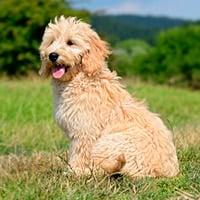 perro goldendoodle