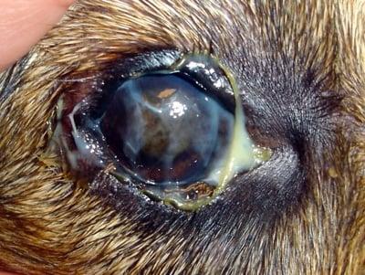 supuración verde ojo de perro