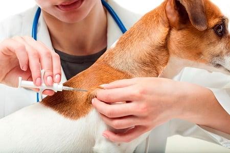 poniendo el microchip a un perro