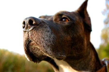 perro oliendo con su nariz