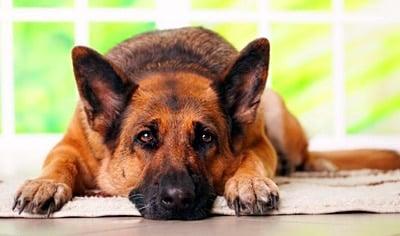 perro que tiembla porque tiene reuma