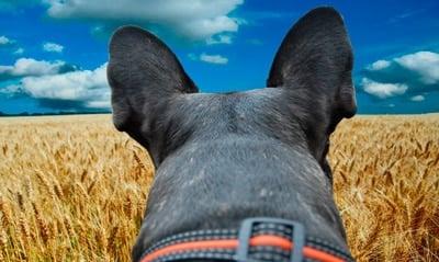 espigas peligrosas para perros