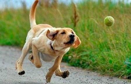 perro jugando con la pelota