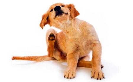 perro rascandose