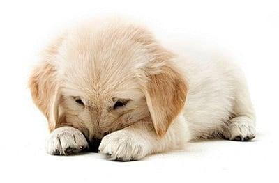 perro de raza pequeña