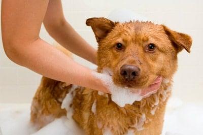 perro-bañandose-champu