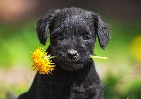 perro con clavel chino