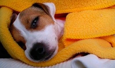 perro enfermo de parvovirus