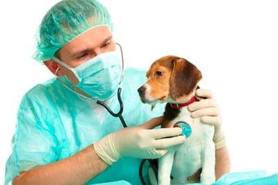 perro esterilizado