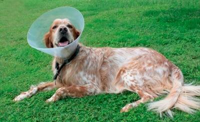 perro esterilizado con collar isabelino