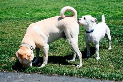 perro oliendo un culo