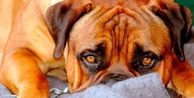perro que come heces por estrés